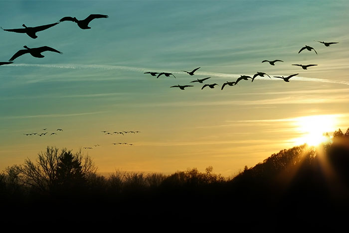 canada goose flying at sunset