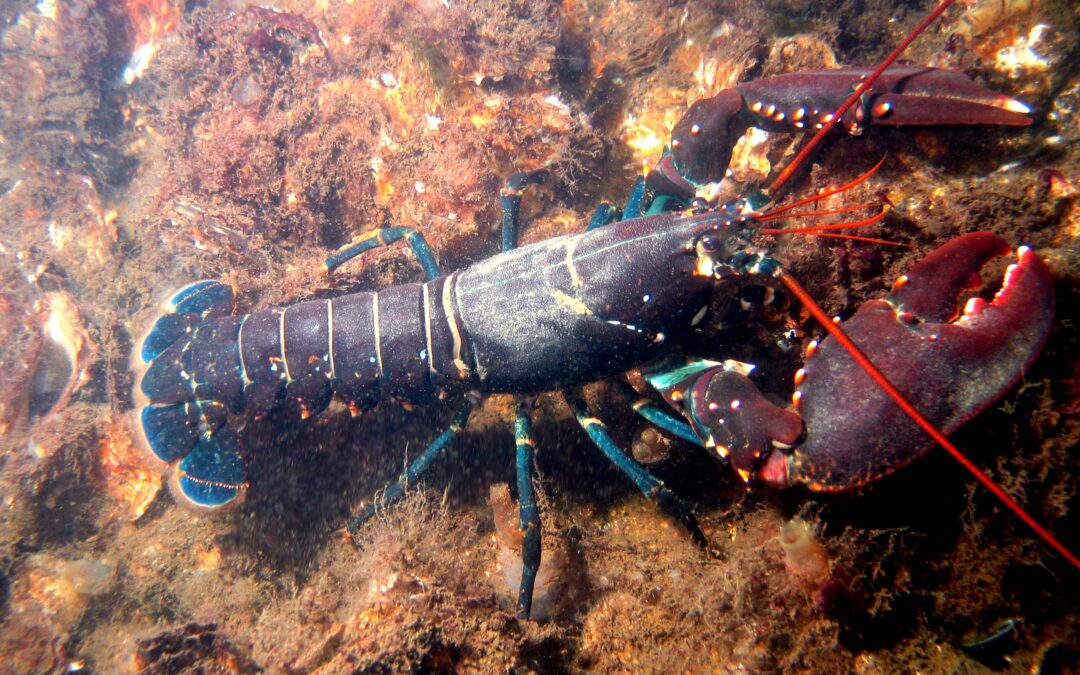 Switzerland Bans The Boiling of Live Lobsters